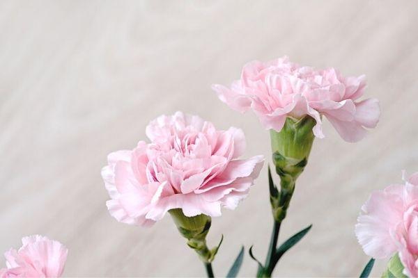 karanfil çiçeği anlamı