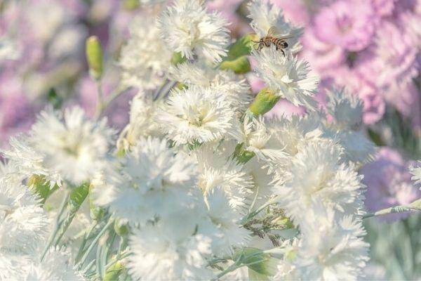 karanfil çiçeği özellikleri