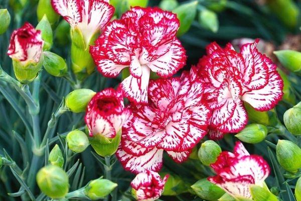 karanfil çiçeği tohumu