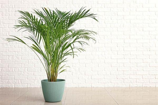 areka palmiyesi