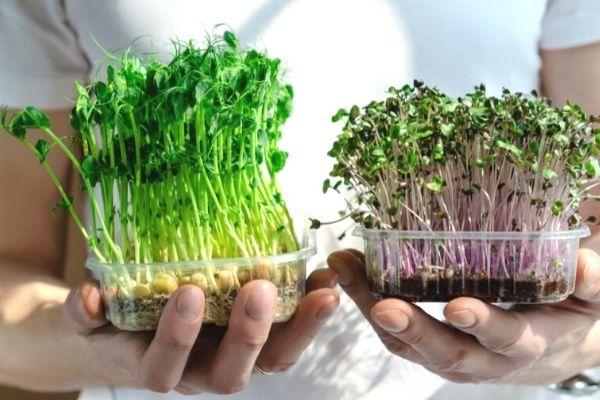 Mikro Filiz Nedir? Nasıl Yetiştirilir? Tarifi