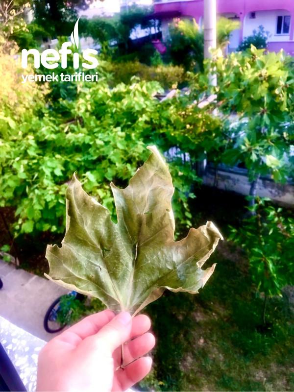 Çınar Ağacı Yaprağı Kürü
