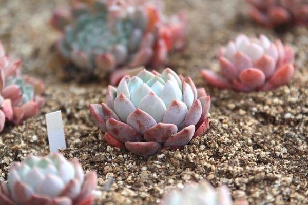 kaktüs sukulent toprağı