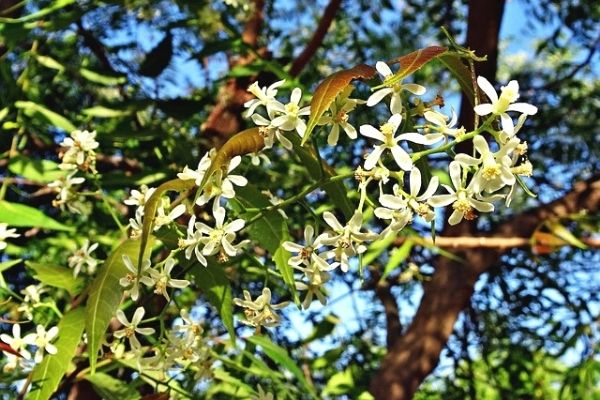 neem ağacı yağı