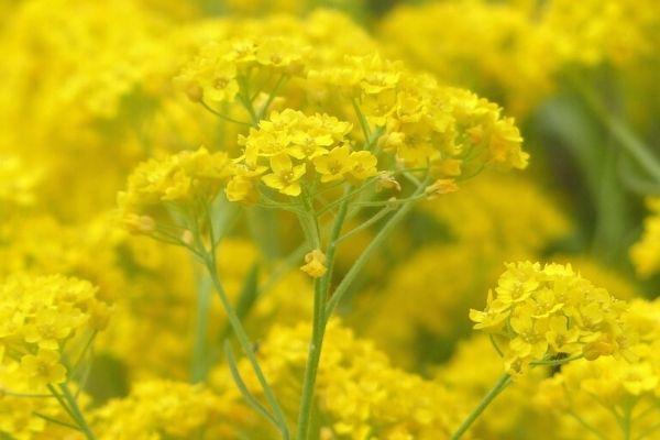 ölmez otu çiçeği faydaları