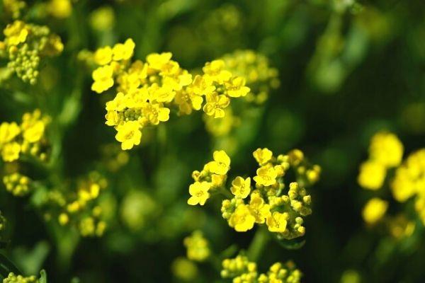 ölmez otu çiçeği cilde faydaları