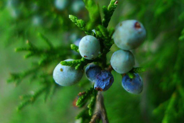 ardıç meyvesi