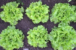 Evde Marul Nasıl Ekilir ve Yetiştirilir? Tarifi