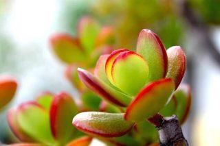 Para Bereket Çiçeği Bakımı, Çoğaltılması Tarifi