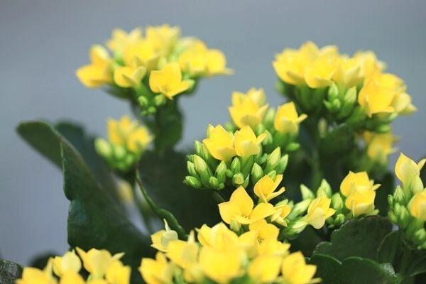 bereket çiçeği çiçek açar mı