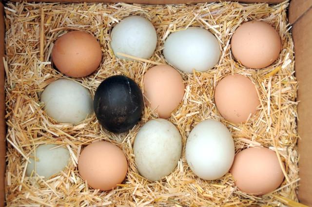 siyah tavuk yumurtası