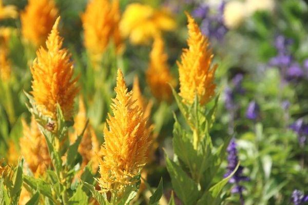 horoz ibiği çiçeği nasıl çoğaltılır