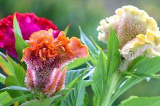 Horoz İbiği Çiçeği Bakımı ve Faydaları Tarifi