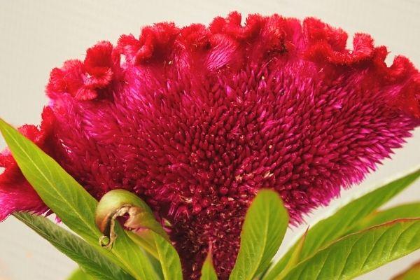 horoz ibiği çiçeği tohumu nasıl alınır