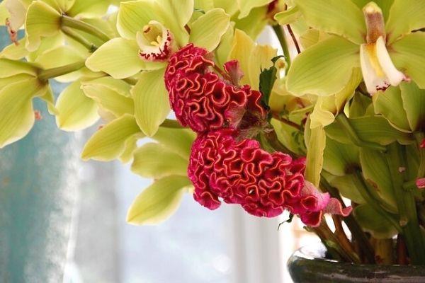 horoz ibiği çiçeği tohumu