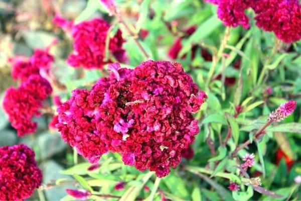 horoz ibiği çiçeği
