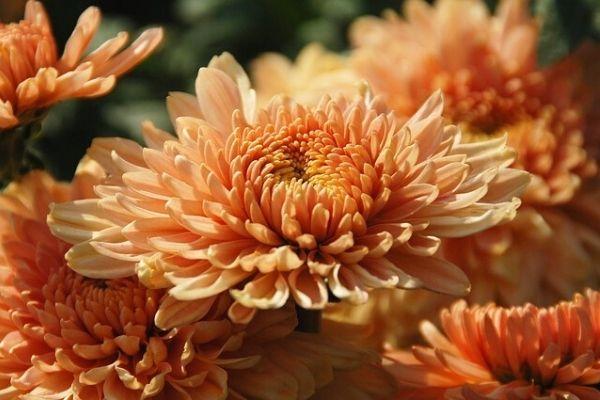 kasımpatı çiçek