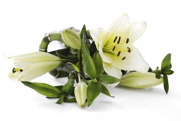 Evde Zambak Çiçeği Yetiştirme, Bakımı, Çeşitleri Tarifi