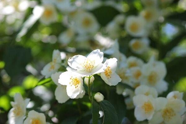 yasemin çiçeği nasıl çoğaltılır