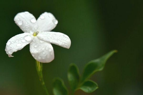 yasemin çiçeği faydaları