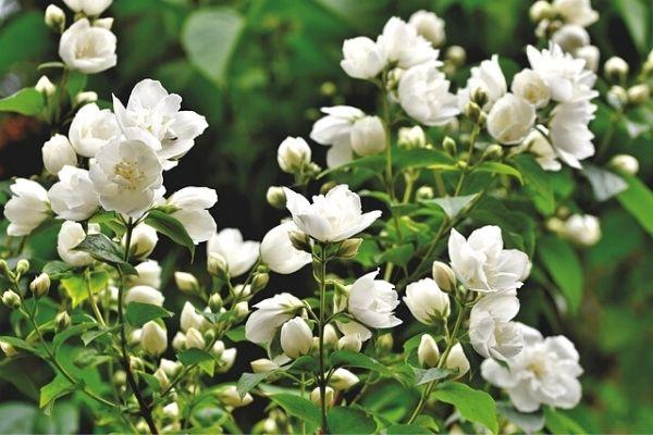 yasemin çiçeği çeşitleri