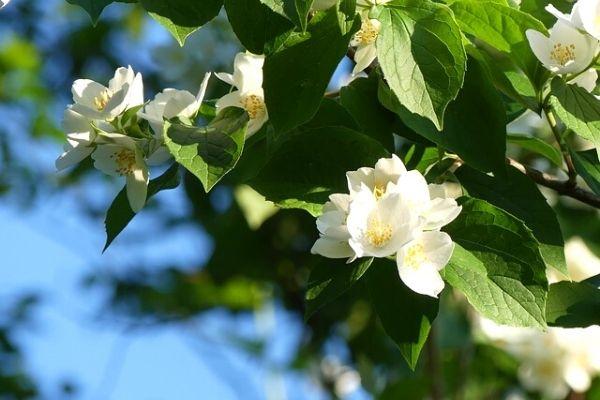 yasemin çiçeği özelliği