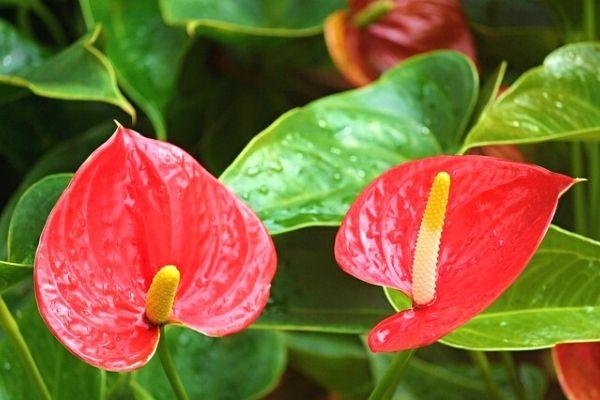 antoryum çiçeği anlamı