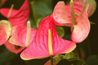 Antoryum Çiçeği Bakımı, Anlamı, Çoğaltılması Tarifi