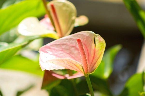 antoryum çiçeği nasıl çoğaltılır