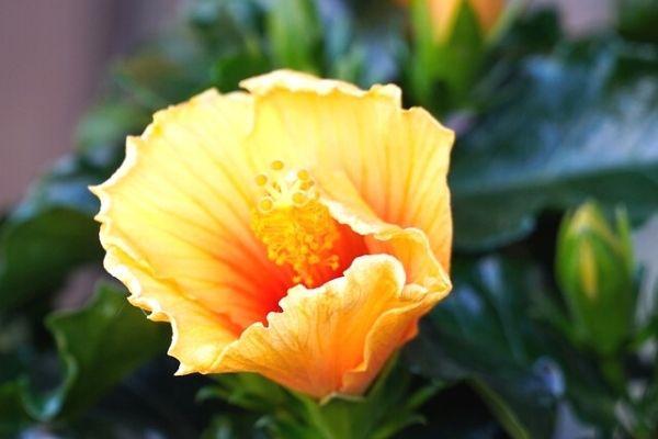 japon gülü çiçeği bakımı
