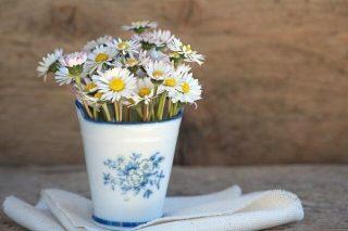 Papatya Çiçeği: Bakımı, Özellikleri, Faydaları Tarifi