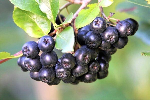 Aronya Meyvesi: Süper Bağışıklık Güçlendirici! Tarifi