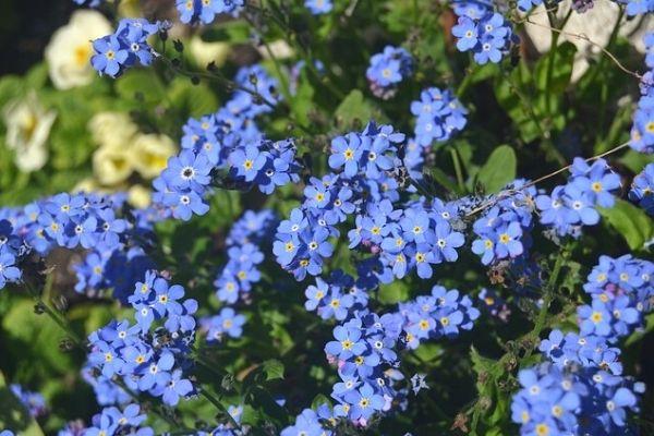 unutmabeni çiçeği bakımı