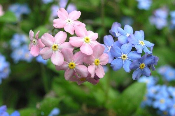 unutmabeni çiçeği nasıl yetişir