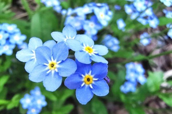Unutmabeni Çiçeği Yetiştirme, Anlamı, Hikayesi Tarifi