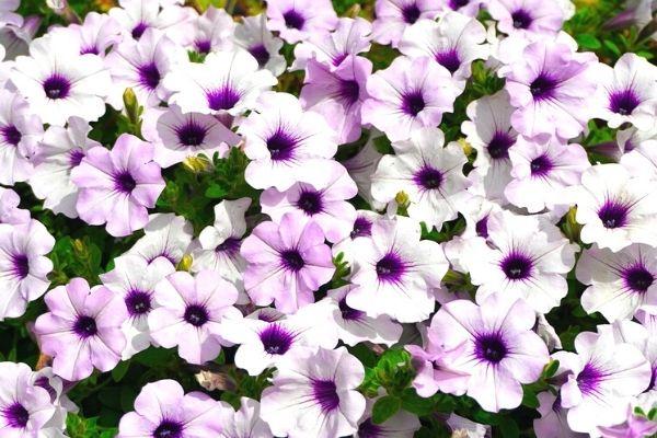 petunya çiçeği bakımı