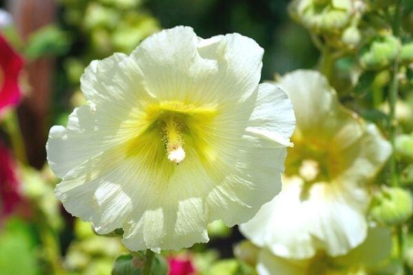 petunya çiçeği nasıl çoğaltılır