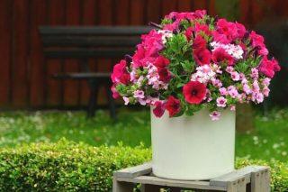 Petunya Çiçeği Bakımı, Anlamı, Çoğaltılması Tarifi