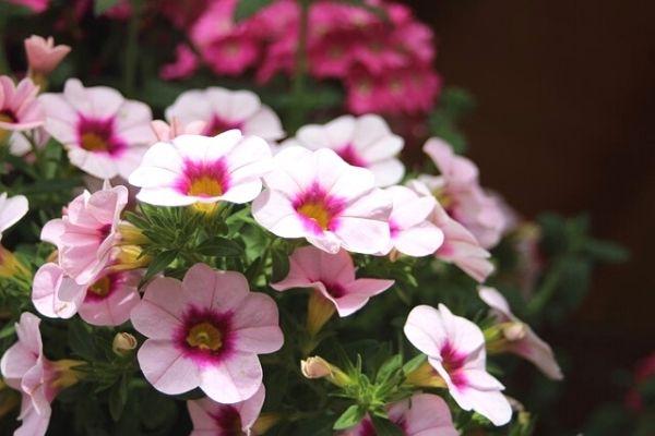 petunya çiçeği nasıl bakılır