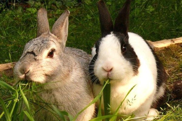 tavşan ne yer