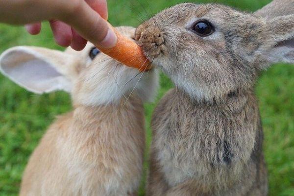 tavşanlar havuç yer mi