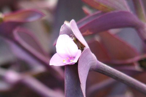 telgraf çiçeği çiçek açar mı