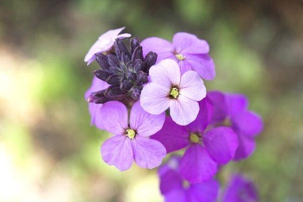 yabani şebboy çiçeği