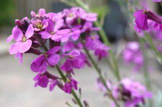 Evde Şebboy Çiçeği Bakımı: Nasıl Yetiştirilir? Tarifi