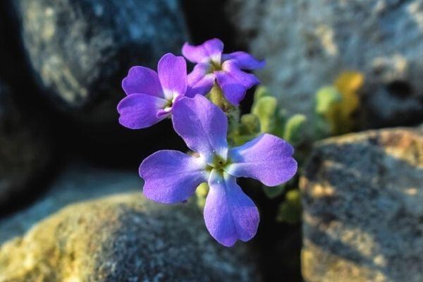 şebboy çiçeği tohumu nasıl alınır