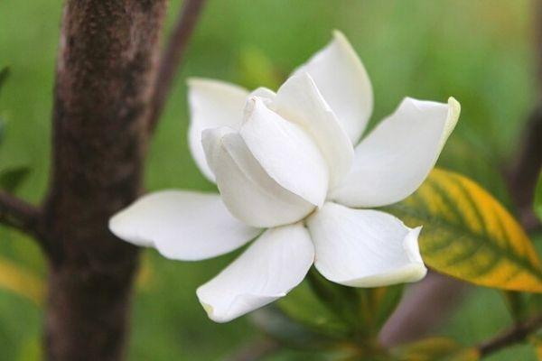 Gardenya Çiçeği Bakımı, Anlamı, Çoğaltılması Tarifi