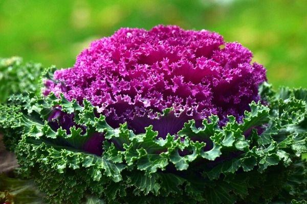 kale bitkisi nasıl yetiştirilir