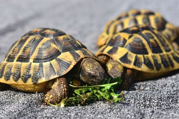 yavru kaplumbağalar ne yer