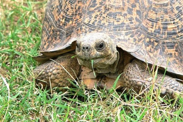 kaplumbağa ne yer kara