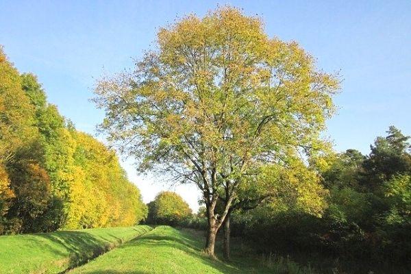 dişbudak ağacı özellikleri